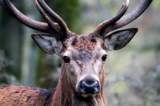 Hirsch, Mammal, Animal World, Nature, Animal, Red Deer