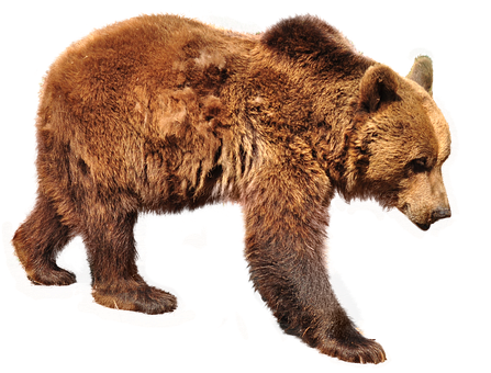 Bear, Brown Bear, Isolated, Nature, Animals, Forest