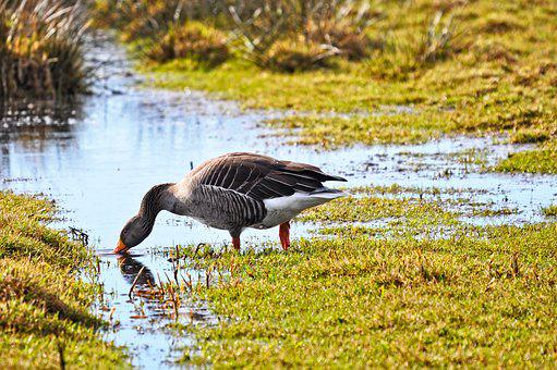 Goose, Bird, Waterbird, Waterfowl, Animal, Wildlife