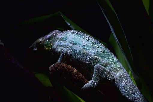 Chameleon Skin, Drop Of Water, Chameleon Cock