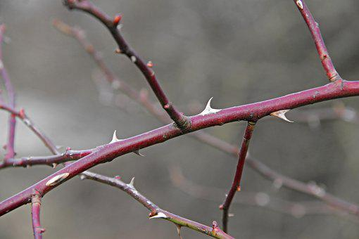 Thorns, Spur, Branch, Plant, Close Up, Prickly, Bush