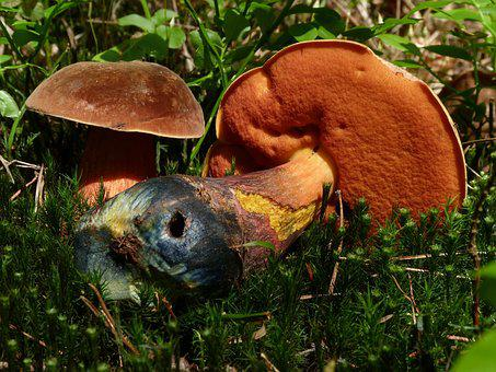 Mushrooms, Nature, Mushroom, Boletus, Eating, Forest