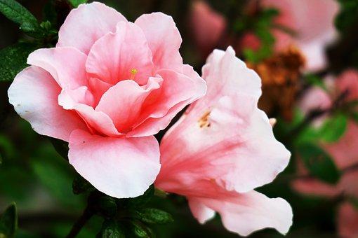 Rhododendron, Pink Red, Flower, Plant, Garden, Nature