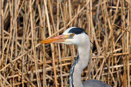 Grey Heron, Heron, Ardea Cinerea, Animal, Bird