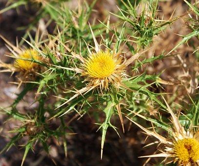 Nature, Thistle, Flower, Thorny, Sardinia, Wild, Island