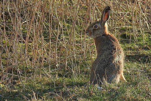 Hare, Long Eared, Grass, Mammal, Animal, Animal World