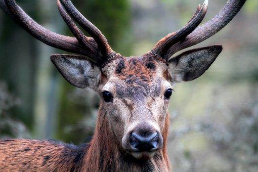 Hirsch, Mammal, Animal World, Nature, Animal, Red Deer