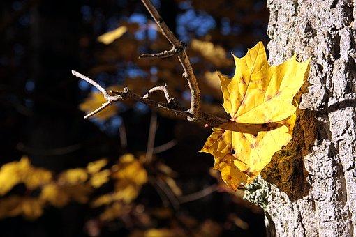 Nature, Leaf, Tree, Autumn, Plant, Maple, Golden Autumn