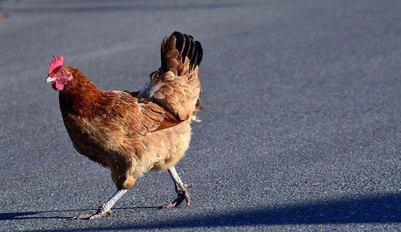 Chicken, Escape, Race, Run, Running Away, Free Running