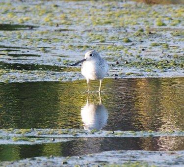 Bird, Water, Wildlife, Lake, Animal, Nature, Shorebird