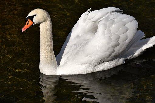 Swan, Elegant, Noble, Plumage, White, Beautiful
