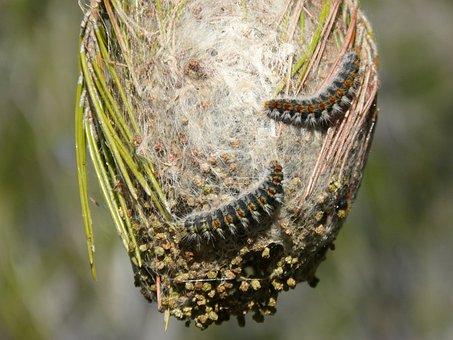 Processionary, The Pine Processionary Moth, Plague