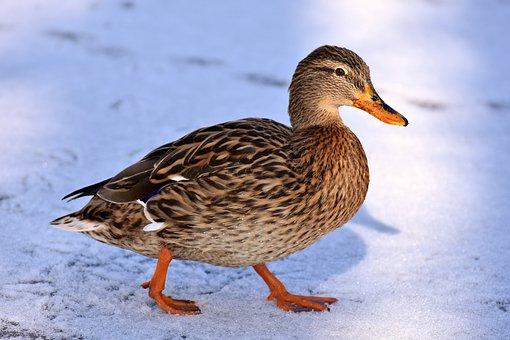 Duck, Mallard, Snow, Winter, Cold, Colorful, Water Bird