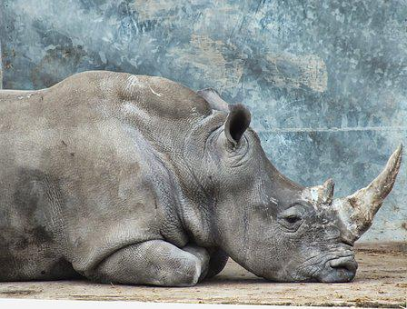 Animal, Wild, Nature, Mammal, Wildlife, Rhinoceros