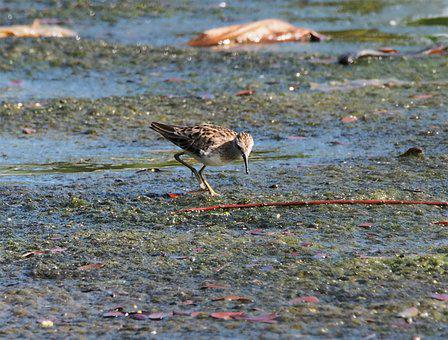 Bird, Water, Wildlife, Nature, Shorebird, Outdoors