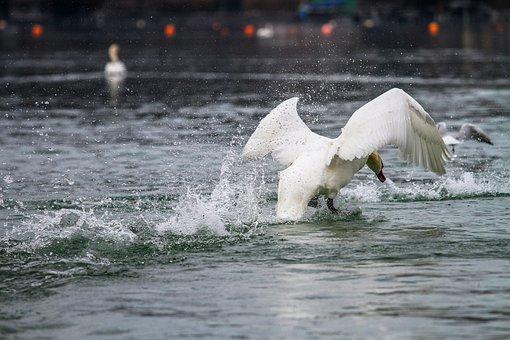 Swan, Lake, Flight Landing, Animal World, Waters