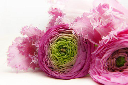 Blossom, Bloom, Pink, Ranunculus, Tulip, Tender, Beauty