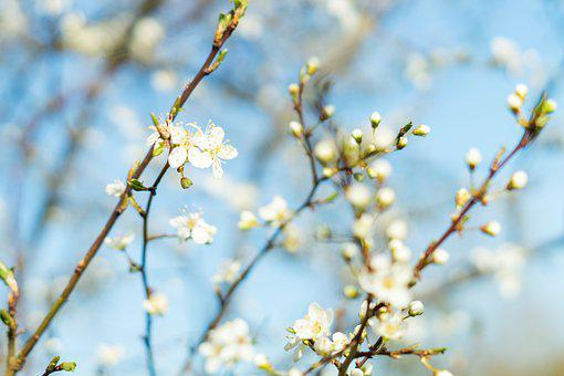 Spring, Nature, Pink, Bloom, Blooming, Blossom, Tree