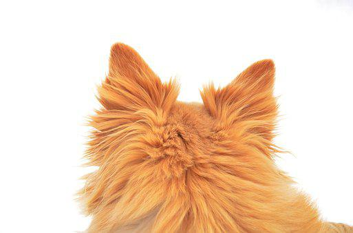 Dog, Redhead, Ears, Wool, White Background, Furry