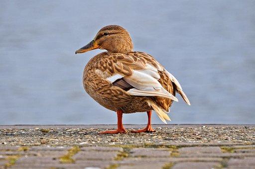 Duck, Mallard, Female, Female Duck, Hen, Bird