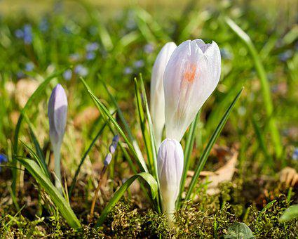 Crocus, Flower, Flowers, Spring, Cold, Frost, Plant