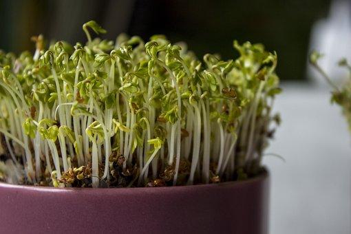 Flora, Food, Leaf, Growth, Vegetable, Kress, Plant