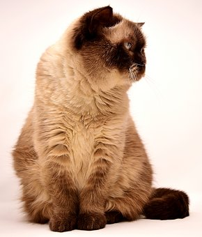 British Shorthair, Cat, Pet, Mieze, British, Short Hair