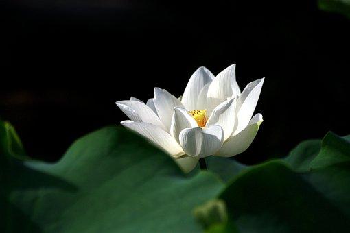 Flower, Plant, Leaf, Nature, Beautiful, Dutch, White