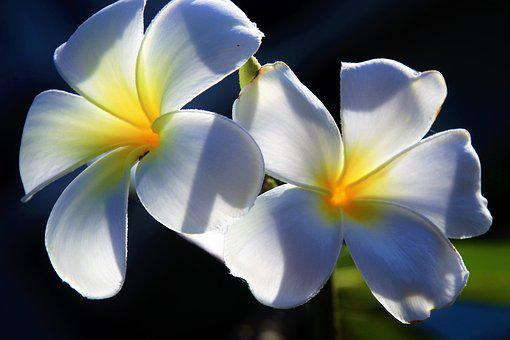 Flower, Plumeria, Nature, Petal, The Tropical, Floral