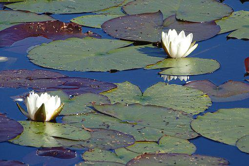 Water Lily, Nature