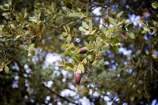 Tree, Nature, Plant, Outdoors, Branch, Leaf, Fruit