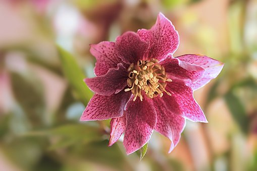 Plant, Flower, Christmas Rose, Helleborus, Pink, Tender