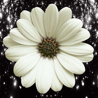 Flower, Nature, Petal, Flowering, Plant, White Daisy