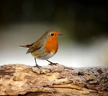 Animal World, Bird, Nature, Songbird, Robin, Garden