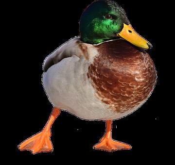 Mallard, Males, Snow, Winter, Water Bird, Bill
