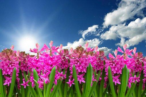 Flower, Nature, Plant, Hyacinth, Spring, Spring Flower