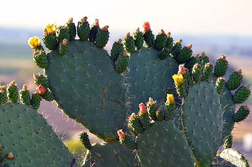 Cactus, Spine, Sharp, Prickly, Succulent, Desert, Flora