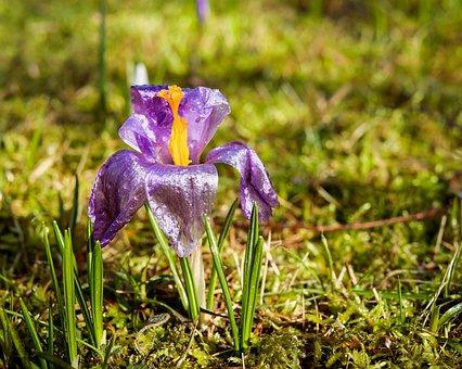 Crocus, Flower, Bloom, Spring, Cold, Petal, Violet