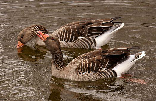 Geese, Waterfowl, Wild Geese, Lake, Grey Geese, Bird