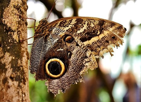 Butterfly, Owl Butterfly, Edelfalter, Eyes, Wing