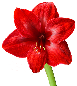 Amaryllis, Red, Blossom, Bloom, Flower, Christmas