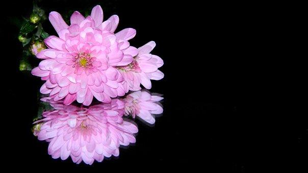Chrizantéma, Flower, Black Background
