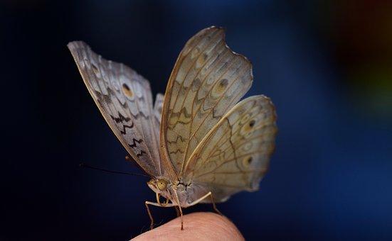 Argus, Common Blue, Butterfly, Wing, Tender, Finger