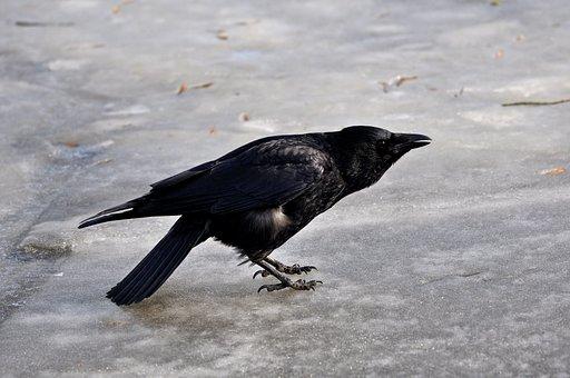 Crow, Animal, Bird, Corvus, Wildlife, Fauna, Standing