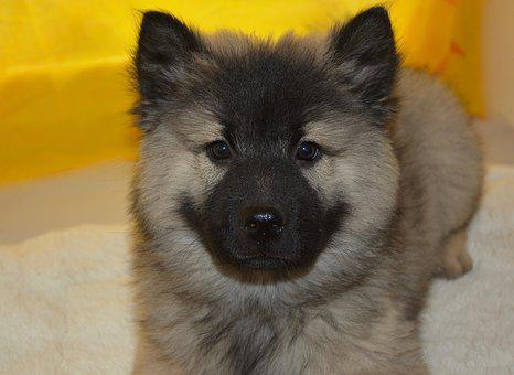 Puppy, Pup, Dog Christmas Blue, Eurasier Puppy