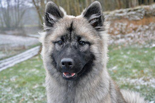 Dog, Bitch Nova, Young Bitch, Eurasier