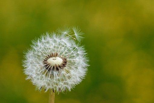 Dandelion, Nature, Plant, Flower, Seeds, Summer, Bright