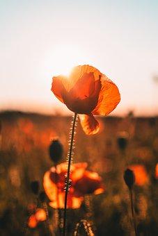 Poppy, Field West, Sun, Poppyhead, Nature, Flower