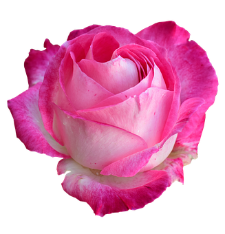 Rose, Bright Rose, Rose Png