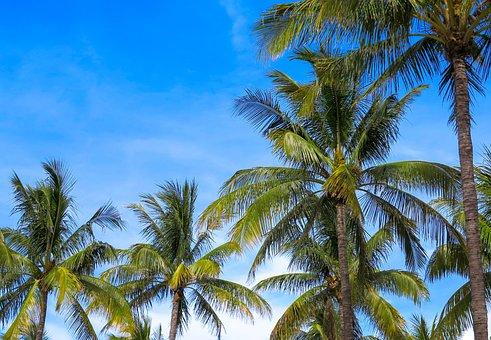 Arecaceae, Coconut, The Tropical, Beach, Treatment